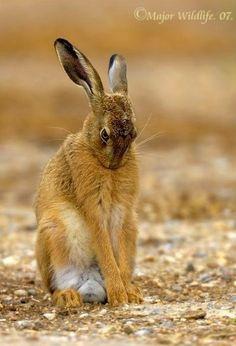 Wild Hare / Is a little shy. Wild Rabbit, Jack Rabbit, Hare Pictures, Animal Pictures, Animals And Pets, Baby Animals, Cute Animals, Beautiful Creatures, Animals Beautiful