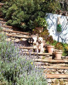 Escada com cerca de lavanda