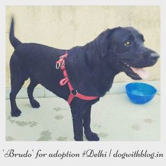 Two-year-old black Labrador 'Brudo' needs a new home #delhi At his present home Brudo is largely left to himself no walks no play no attention. The lady of the house isheavily pregnant her mother-in-law is too old her husband is posted in a non-family station there is no domesticc help and the family cannot afford a dog walker so it has been decided that this sweet gentle affectionate boy will be better off with a loving family willing to give him lots of love time and attention. Brudo is…