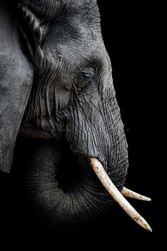 Photo about A side portrait of an African elephant - Loxodonto Africana - with tusk against black background. The elephant is one of the Big Five. Image of elephant, side, five - 123467038 Indian Elephant, Elephant Love, Elephant Art, Elephant Sketch, Elephant Photography, Wildlife Photography, Animal Photography, Elephants Photos, Baby Elephants