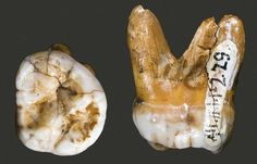 https://genographic.nationalgeographic.com/wp-content/uploads/2012/07/new-hominid-denisovans-tooth_30648.jpg