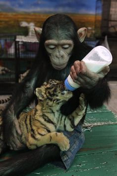 Pinner: Two-year-old chimpanzee adopts and feeds a baby tiger (Thailand) - I'm sorry, how exactly can people say that they aren't like us? The two-year-old chimp is using a BOTTLE. I know grown men who can't do that.
