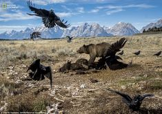 Parts of the Yellowstone region are wilder now than they¿ve been in a century. Grizzlies are spreading. This one, in Grand Teton National Park, fends off ravens from a bison carcass. Workers moved it away from the road to keep scavengers and tourists apart