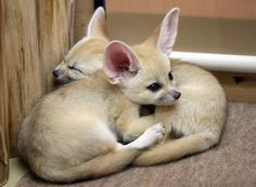 The Algerian soccer team is  nicknamed the Fennec Foxes