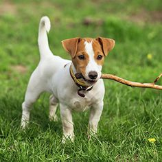 I got Jack Russell!! What's Your Inner Dog Breed?