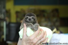 teeny tiniest sloth