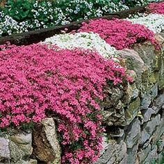 Mixed Carpet Phlox - perennial; grows anywhere, even in poor, dry, sandy soil where other ground covers fail! No other plant spreads so lavishly, needs so little attention and flowers so profusely with so little care. Zones: 3-9 Light: Full Sun to Full Partial Shade - Gardens For Life