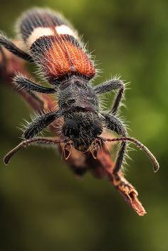 Velvet ant mimicking beetle | Flickr - Photo Sharing!