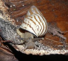 Hypselostyla camelopardalis