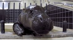 Nothing I have ever posted has made the front page. Here's a hippo. - Imgur