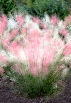A North American native, Cotton Candy Grass is perfect for the low maintenance garden. Easy to grow green ribbon grass gives way to finely cut giant pink plumes. Use in group Cotton Candy Grass, Unique Garden Decor, Garden Ideas, Home Garden Plants, Low Maintenance Garden, Ornamental Grasses, Ornamental Grass Landscape, Front Yard Landscaping, Landscaping With Grasses