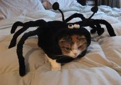 Spider Cat !
