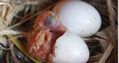 Pichones de paloma muertos en el huevo - tuspalomas