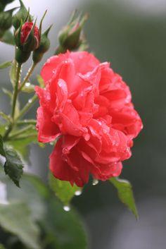 1000 images about beautiful rose on pinterest. Black Bedroom Furniture Sets. Home Design Ideas
