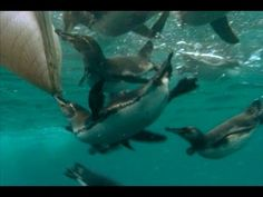 Pelícanos comiendo donde comen los pingüinos // Els pingüins mengen i, de sobte, arriben els pelícans.