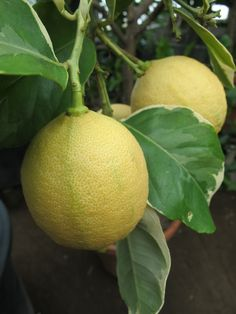 Citrus limon 'Spanish Pink Variegata' is prized for its variegated foliage, striped fruit and pink lemony pulp
