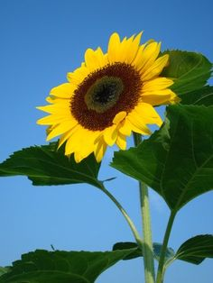 Sunflower - Google Search