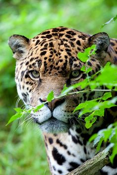 [Jaguar] ** There was a time long past when mantype could communicate with all animals. We have since forgotten their language and have only the will to murder them mercilessly for trophies and skins.