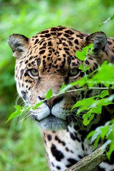 Los jaguares, junto a los leones y delfines, son mis animales favoritos