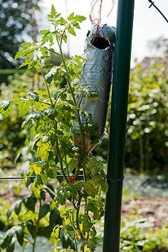 Tomaten, die Kopfstand machen :)