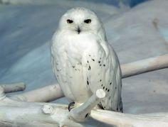 snowy owl | snowy owl