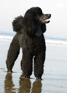 CR the Standard Poodle