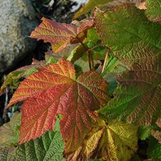 Thimbleberry in fall