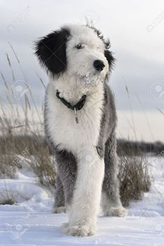 Puppy Of Old English Sheepdog In Snowy Field Stock Photo, Picture ...