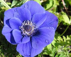 Anemone, just bought some can't wait to plant them!