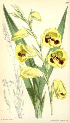 3427 Gladiolus papilio Hook.f. [as Gladiolus purpureoauratus Hook.f.]  / Curtis's Botanical Magazine, vol. 98 [ser. 3, vol. 28]: t. 5944 (1872) [W.H. Fitch]