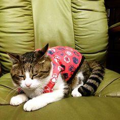 洋服着せてみた😊 似合うかな〜🤔 #猫  #野良猫  #猫好き  #猫との暮らし  #猫のいる暮らし  #猫の寝顔  #猫バカ  #猫部  #猫love  #猫と暮らす  #猫の写真  #猫のいる風景  #猫部門エントリー  #猫ばか  #愛猫  #猫との時間