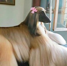 best images, photos and pictures ideas about afghan hound dog - oldest dog breeds Most Beautiful Dogs, Animals Beautiful, Happy Dog Cleveland, Happy Dog Grooming, Amazing Animal Pictures, Saarloos, Photo Animaliere, Hound Dog, Afghan Hound Puppy