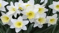 Narcissus - A genus of predominantly spring perennial plants Narcissus Plant, Narcissus Flower, Daffodil Flower, Most Beautiful Flower Pictures, Spring Perennials, Flower Meanings, Language Of Flowers, Romantic Flowers, Bulb Flowers