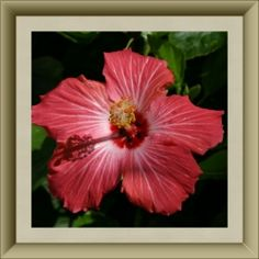 Hibiscus and 49 other edible flowers; links to their recipes, and lists of their flavors.