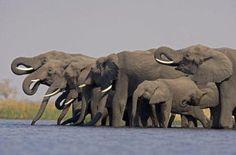 Elephantastico !!    by Beverly Joubert #ivoryforelephants #stoppoaching  #elephants for #ivory ! #animals