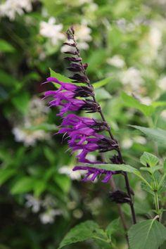 Buy sage Salvia 'Amistad (PBR)'