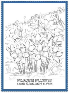 south dakota state flower pasque flower by usa facts for kids south dakota usa facts and flower