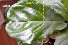 Fiddle Leaf Fig Tree Care use coconut oil to clean fiddle leaf fig leaves Fig Leaf Tree, Fig Leaves, Tree Leaves, Plant Leaves, Ficus Lyrata, Fiddle Leaf Fig Tree, Tree Care, Plant Care, Indoor Plants