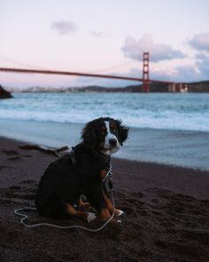 Another doggie because why not (Oscar Nilsson / San Francisco / United States) Cute Puppies, Dogs And Puppies, Doggies, Burmese Mountain Dogs, Bernese Dog, Pet Shop Online, Really Cute Dogs, Dog Tumblr, St Bernard Dogs