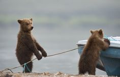 Bear cubs taking a boat out fishing
