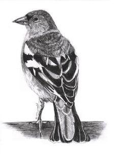 Chaffinch, Pretty Little, British, Birds, Deviantart, Inspired, Drawings, Animals, Zebra Finch