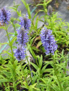 NEPETA nervosa - Blåkant/Katteurt, farve: blå/duftende, lysforhold: sol, højde: 40 cm, blomstring: juli - september, god til bier og andre insekter, god til bunddække, velegnet til snit.
