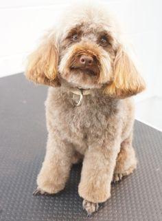 Milo - Toy Poodle