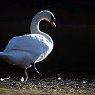 Black Swan von Jasardpu