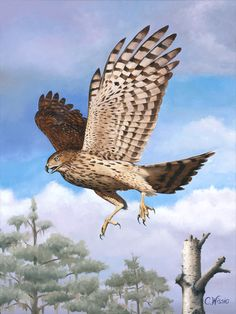 Coopers Hawk, oil on canvas