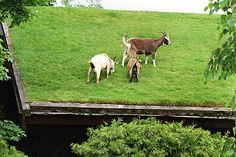 Al Johnson's Swedish Restaurant in Sister Bay, Door County, Wis., has goats that munch on the grass-covered roof