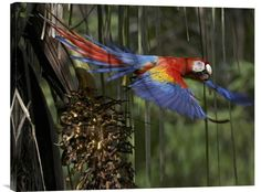 Scarlet Macaw Flying with Palm Nut, Costa Rica http://www.explosionluck.com/products/scarlet-macaw-flying-with-palm-nut-costa-rica