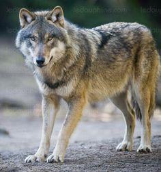 Economie et Finance   «Une aberration de vouloir classer les hybrides au même titre que le loup sauvage»