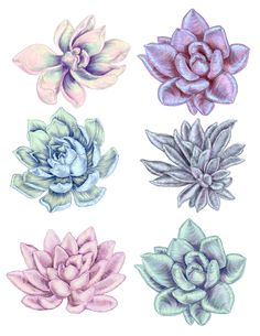 Succulent plant studies in graphite by Miranda Montes.
