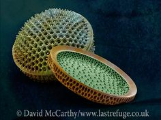 Marine Diatoms SEM image